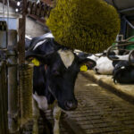 Foto van koe gemaakt bij avondlicht in de stal op de Hullen in Noordsleen